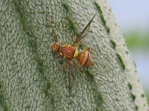 瓜實蠅之生態及防治技術