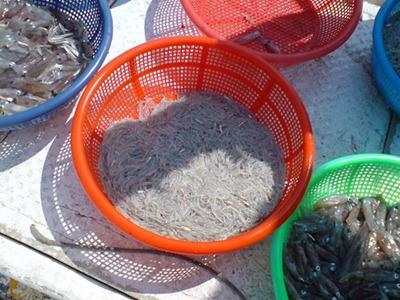 湧升採用5%高標準要求混獲率,漁民捕獲的主要是魩仔魚及小卷(圖片-湧升海洋集團提供)