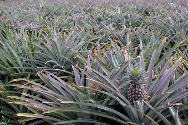 堅持為鳳梨酥提供天然餡料,南投鳳梨生產合作社打下半邊天
