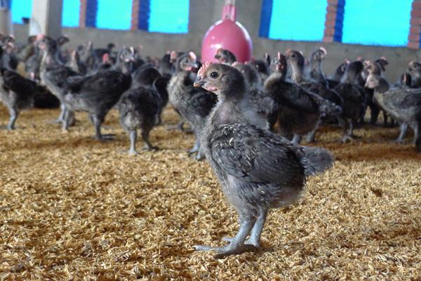 禁宰活禽政策體檢(3)普設小型電宰場,降低飼養密度,確保多元養殖文化