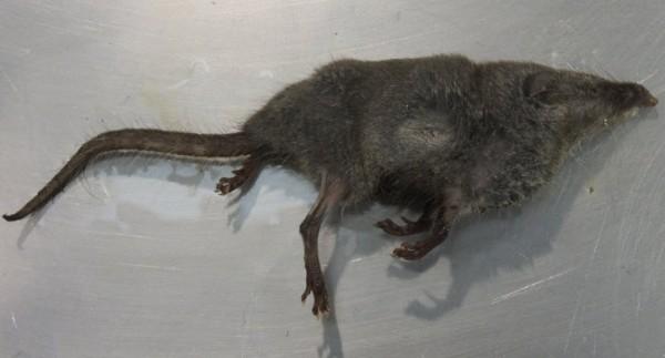 台東錢鼠確定染狂犬病 疑遭染病鼬獾咬傷所致