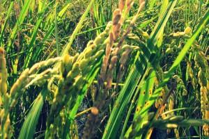 眼前最明顯的那一穗枯白是二化螟蟲在稻梗裡面吃斷了莖,是大自然賞給蛾吃的。