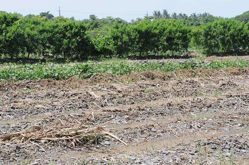 耕地石塊多,農友僅能稍作整理,做出田畦和排水溝