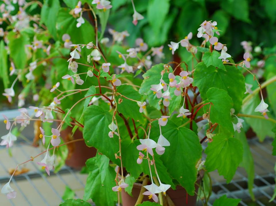 全球秋海棠1600种 台湾特有18种