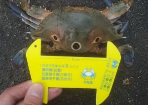 漁業署製作之量蟹器 (漁業署提供)