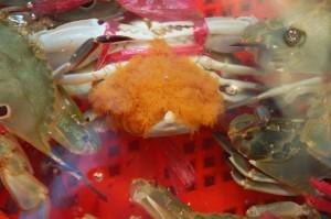 卵已外露,準備孵出幼蟹的開花母蟹