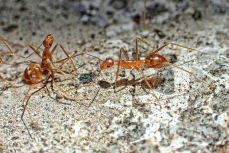 專家:「螞蟻是人類難以控制的生物」勿輕易破壞自然平衡