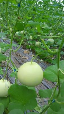 曾啟榮使用溫室栽培的美濃瓜(圖片提供/曾啟榮)
