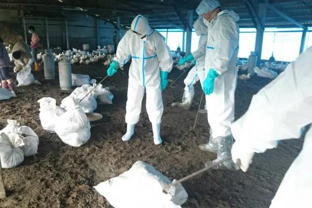 入秋高病原禽流感捲土重來 嘉義一禽場染H5N8 撲殺六千多隻肉鴨