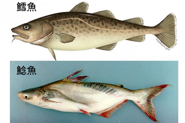 鯰魚低價假鱈魚 添加「發劑」賺暴利?