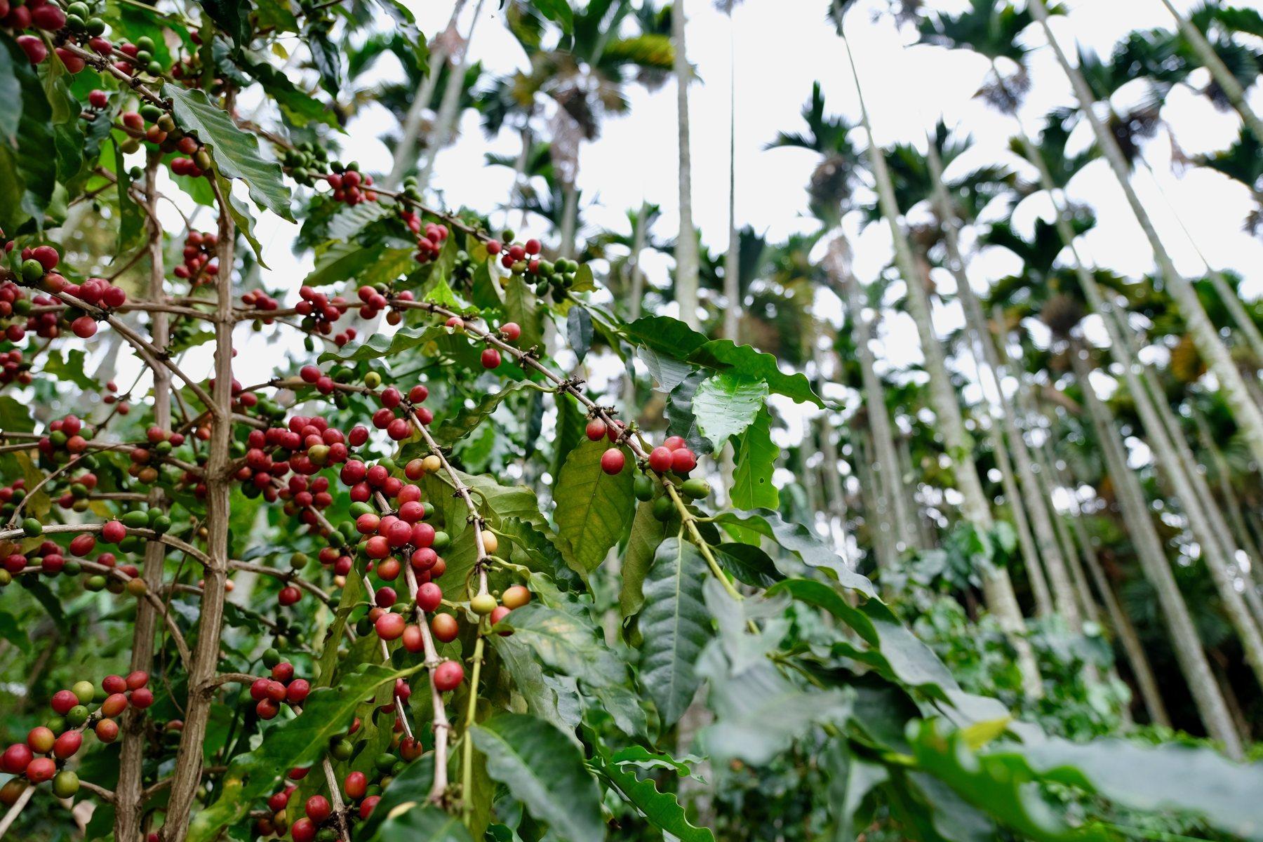 檳榔樹下種咖啡,剛好提供咖啡需要的半遮蔭環境,故無需砍除檳榔(攝影/蔡佳珊)