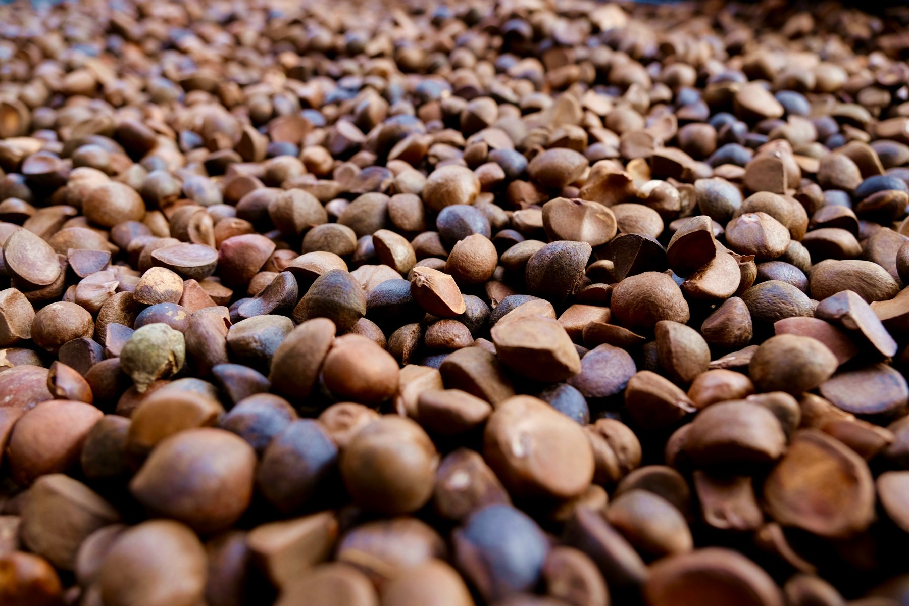 苦茶籽必須用人工剝殼,極為費工(攝影/蔡佳珊)