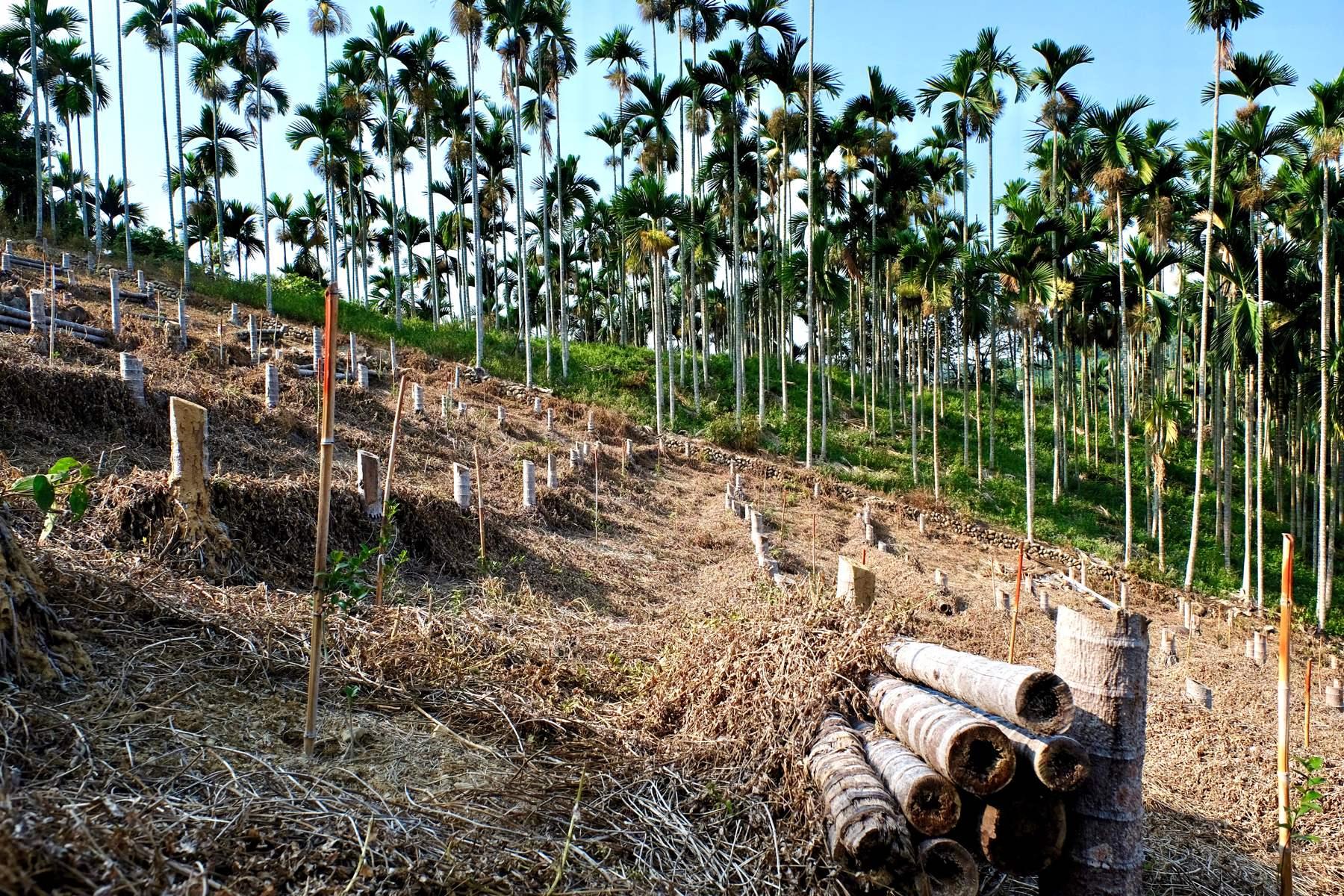 陽光基金會呼籲,檳榔廢園無需挖除樹頭,樹幹也不用運出,可施以微生物使其自然分解(攝影/蔡佳珊)