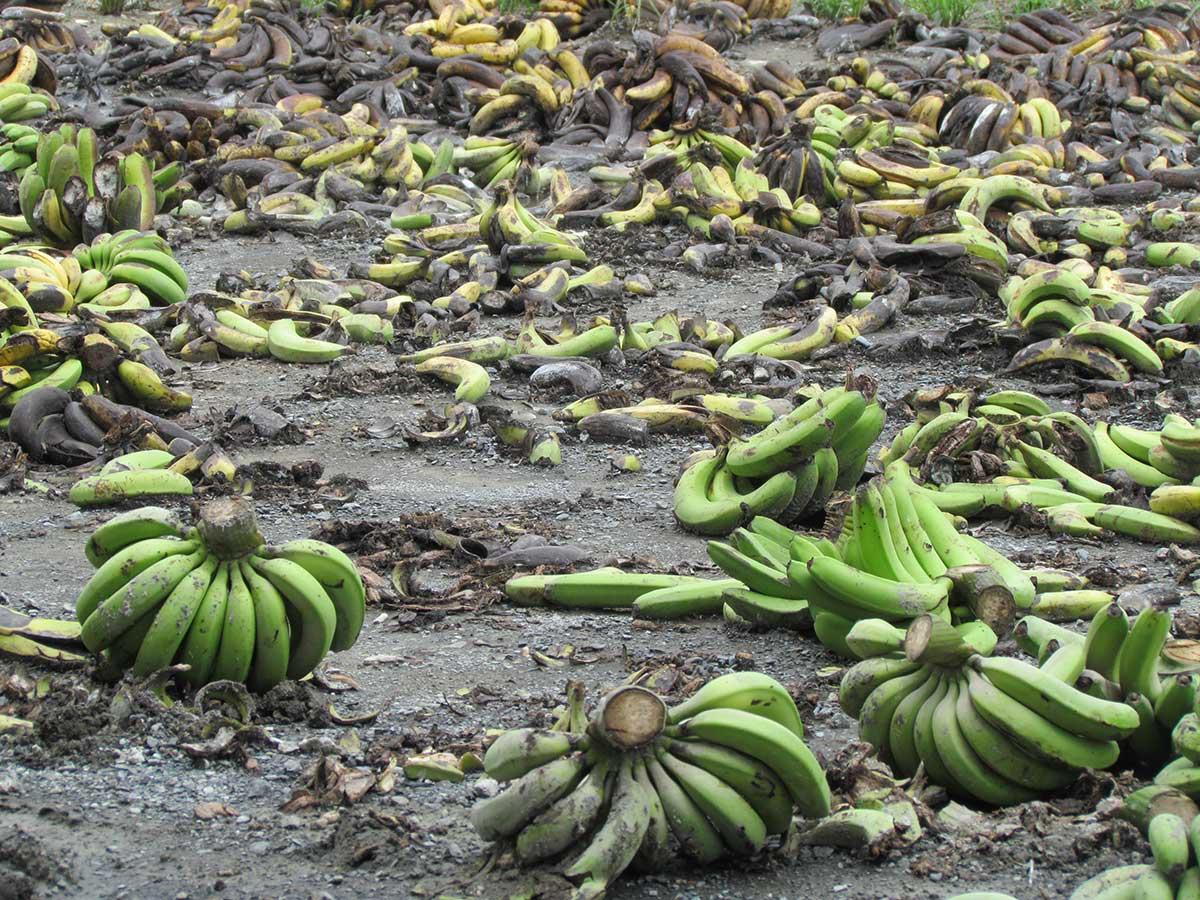 不幸的香蕉走上去化的命運。(攝影/李慧宜)