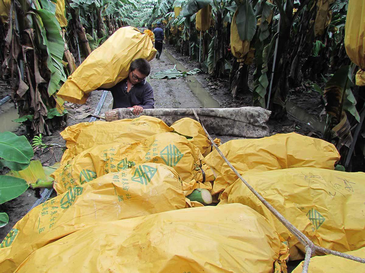 余致榮的田間園管理非常精密,他把每一片香蕉園的耕種、用藥施肥與採收時間,都安排得非常一致。(攝影/李慧宜)