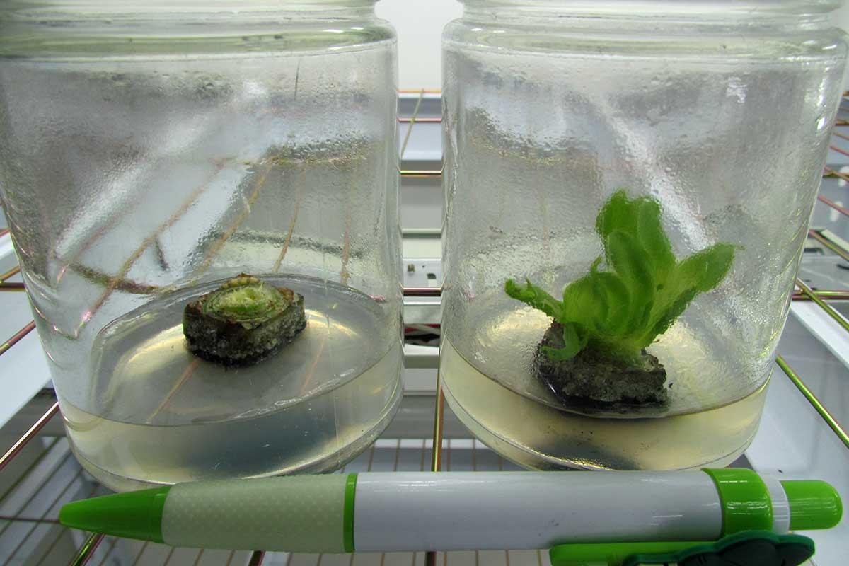 劉盛興說果凍狀的營養成分與比例,是組織培育蕉苗的關鍵技術,也是業界的商業機密。(攝影/李慧宜)