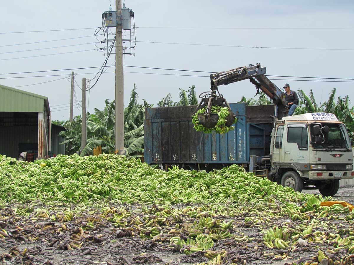去化香蕉由廢棄物處理公司協助送至需要的畜牧場或農場。(攝影/李慧宜)