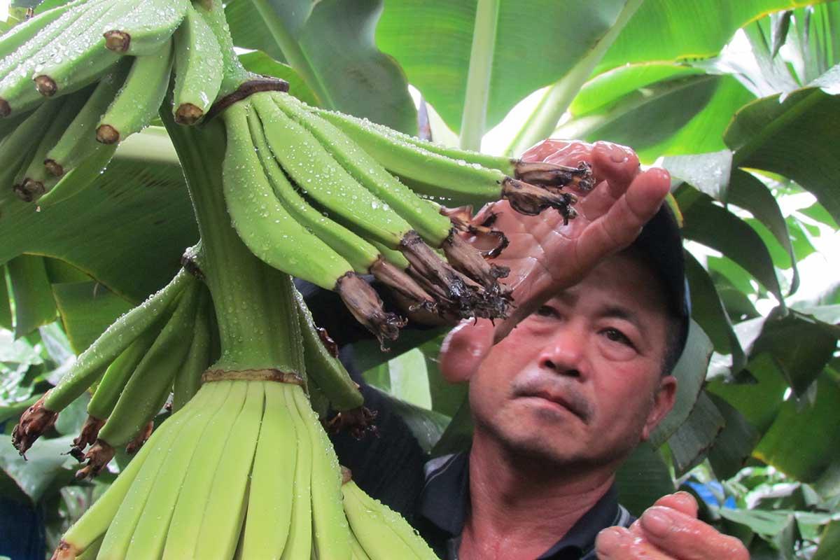 在雨中,農民趕工忙著為香蕉套袋。(攝影/李慧宜)