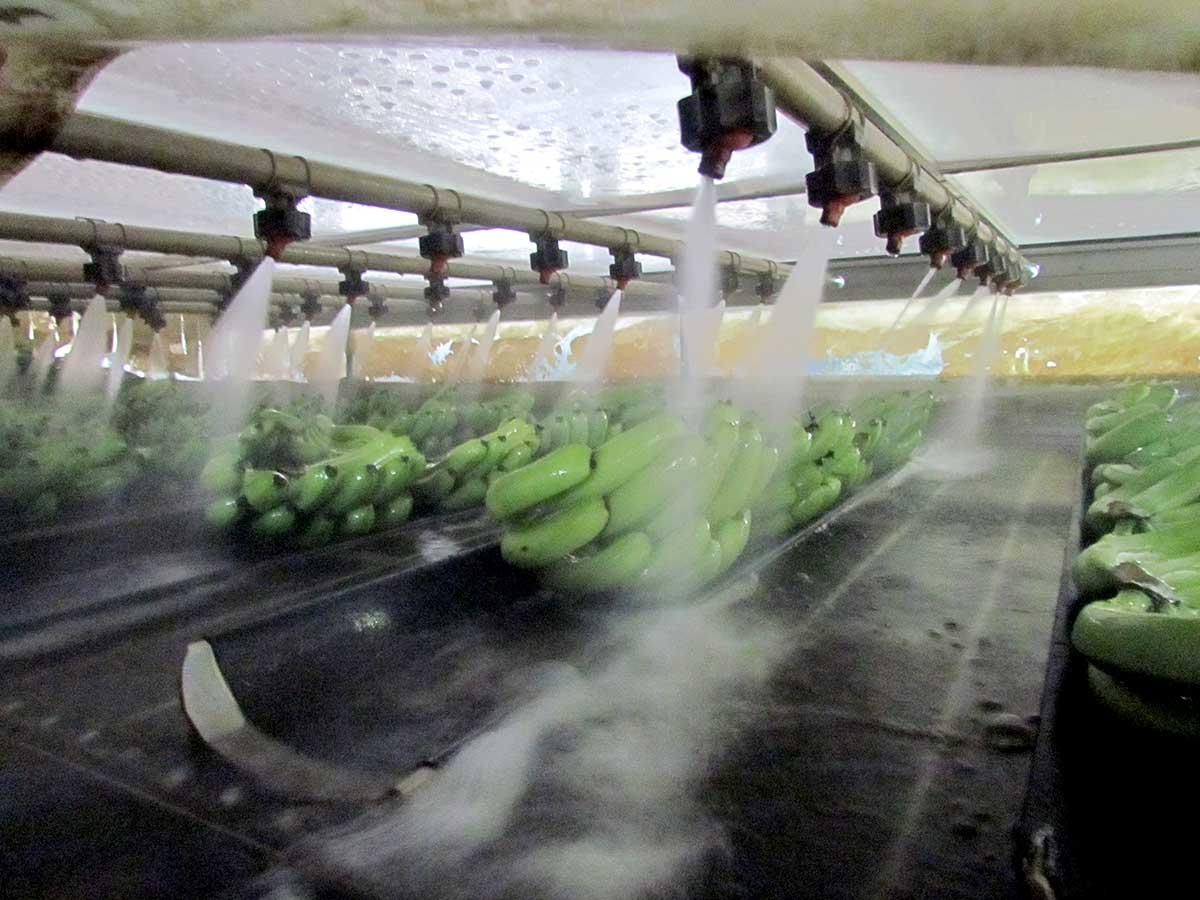 正在洗SPA的香蕉,洗完包裝好馬上進預冷室24小時,之後就可以上貨櫃坐船到日本。(攝影/李慧宜)