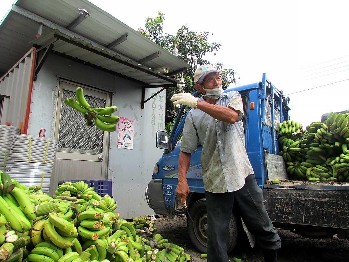 民國107年6月13日,巧遇美濃蕉農李平和送香蕉到旗山集貨場去化。(攝影/李慧宜)