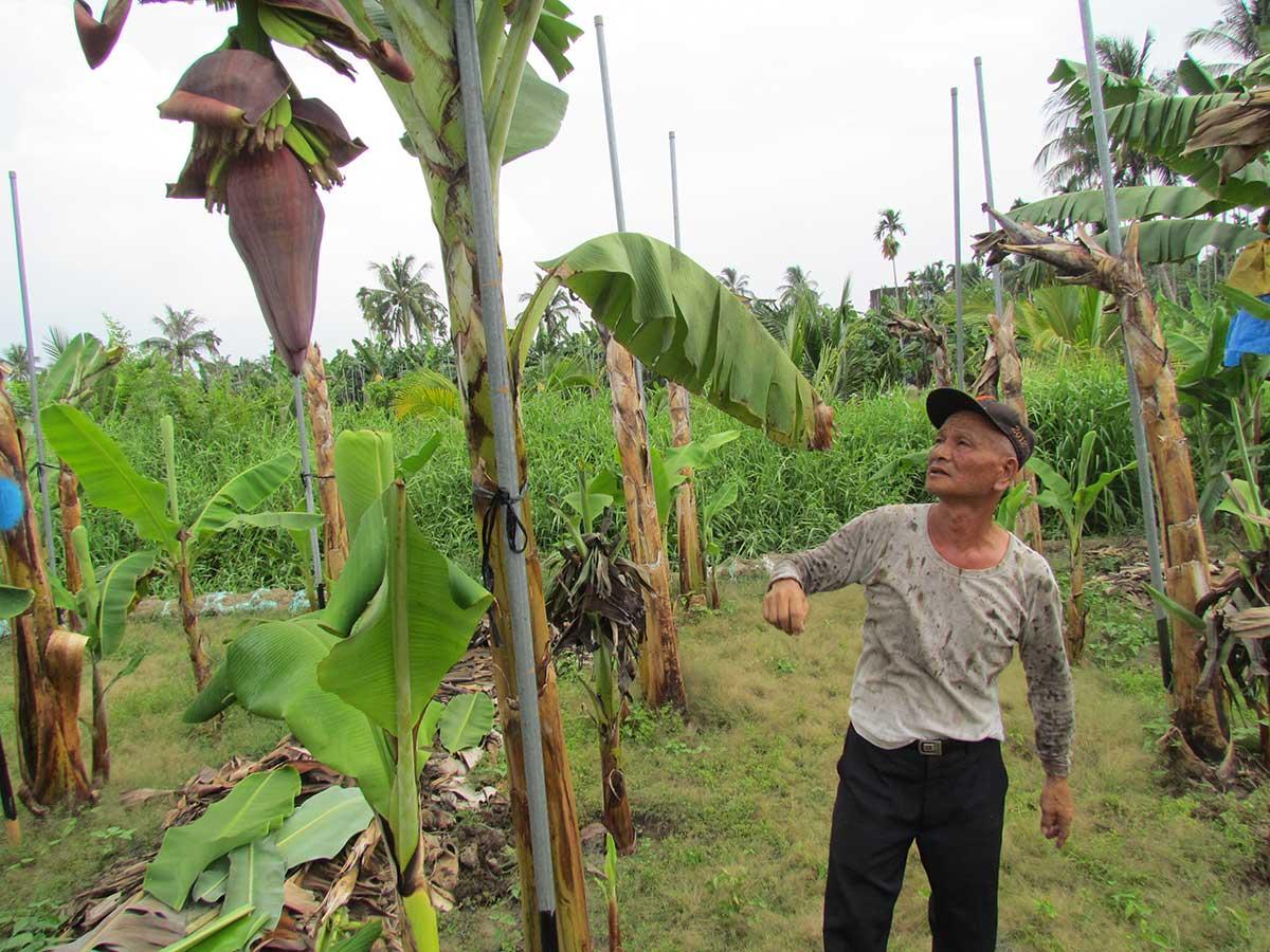 盧泰乙帶記者參觀香蕉園解說草生栽培的方式。(攝影/李慧宜)