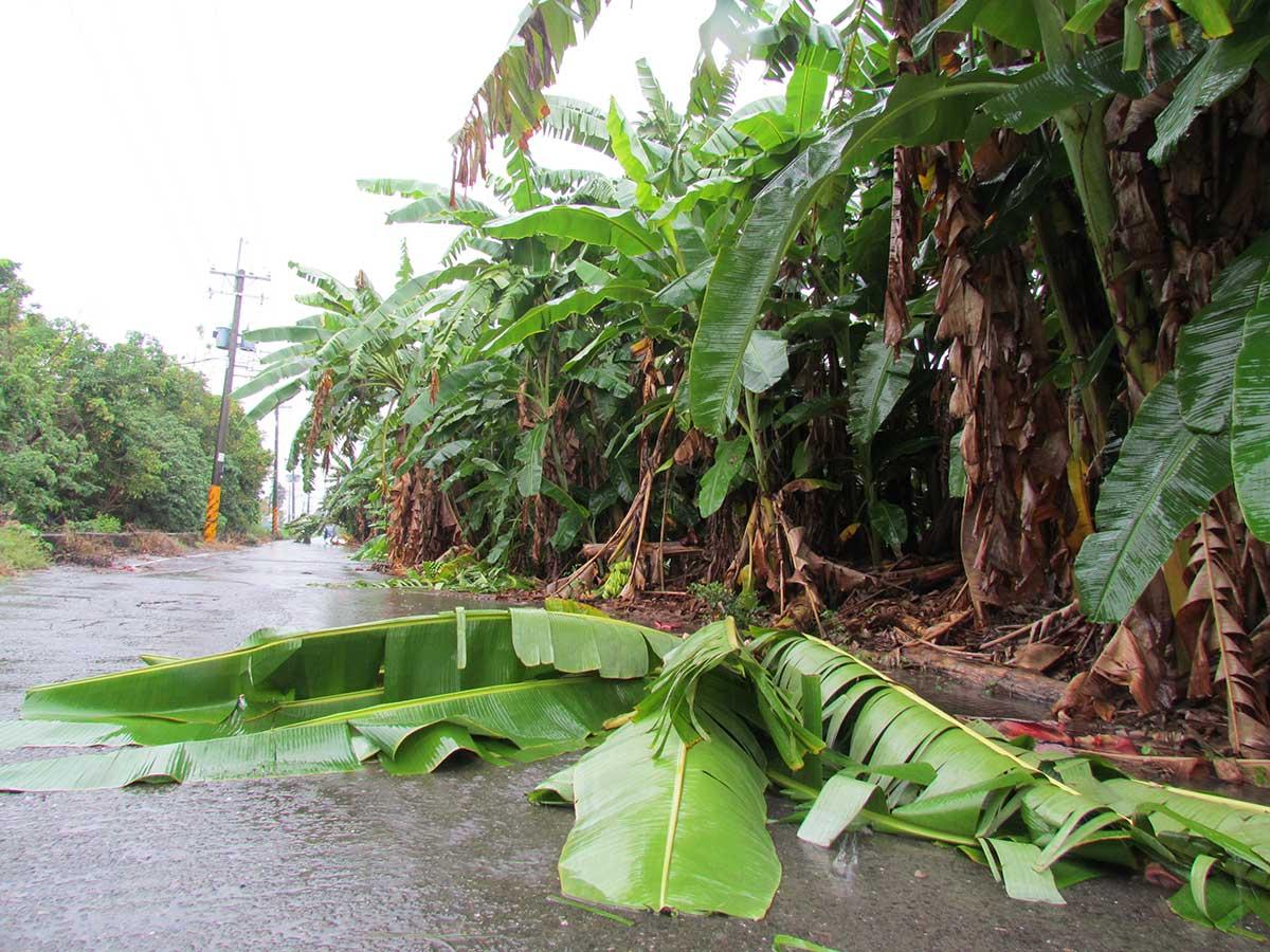 風雨過後,香蕉倒向路邊。(攝影/李慧宜)