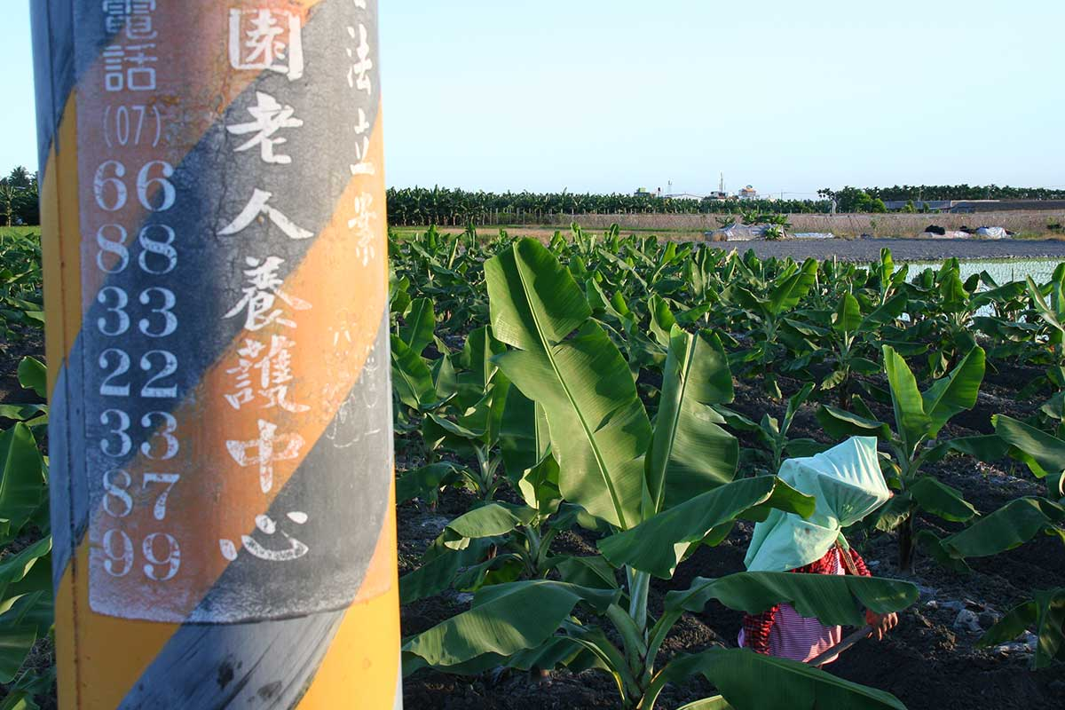 香蕉產業的小面積耕種者大多為老農。(攝影/李慧宜)