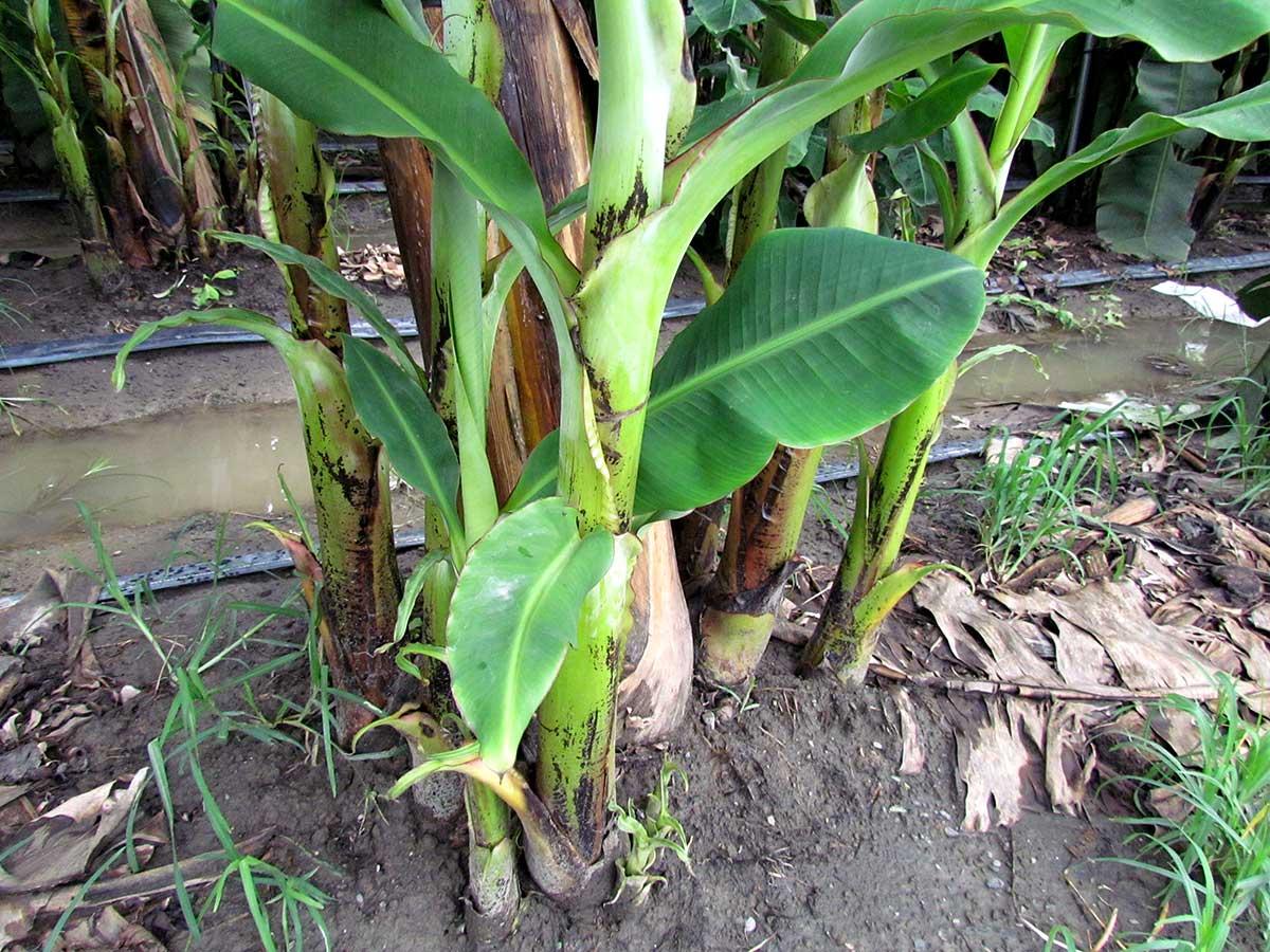 香蕉的母株被周邊長出的吸芽包圍起來。(攝影/李慧宜)