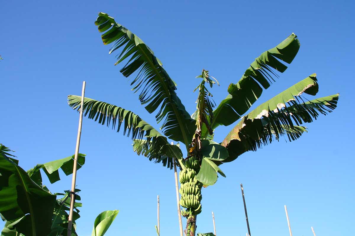 高大的香蕉「草」。(攝影/李慧宜)