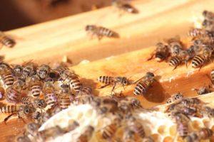 台灣野蜂(攝影_賴郁薇)