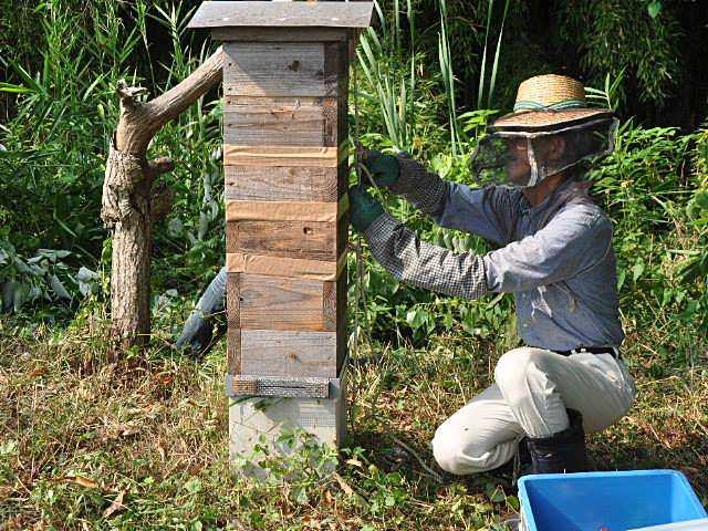 近年日本的業餘養蜂人越來越多,養的是日本野蜂(趙胼提供:志賀祐一)