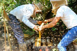 蜂農反應近年蜂蜜收量越來越少(攝影_蔡佳珊)