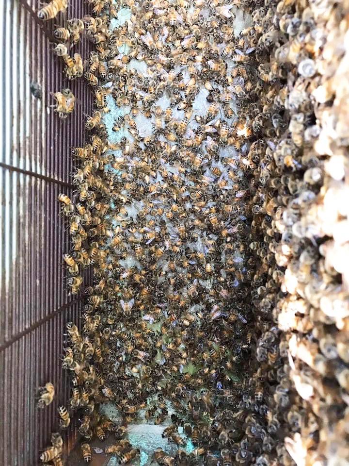 蜜蜂集體中毒(圖片提供/蜂友)
