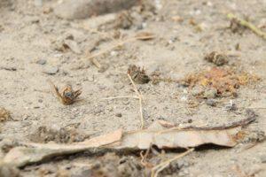 慘遭殺蟲劑毒害的蜜蜂(攝影/孔德廉)