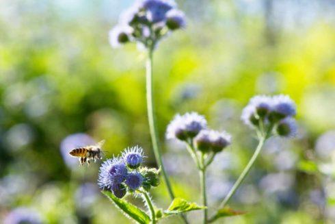 農民留下野花可吸引蜜蜂等授粉昆蟲,對農作物有益(攝影/林世豐)
