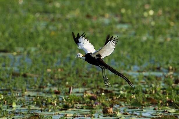 水雉保育傳佳話 永續農業兼具保育例證再添一樁