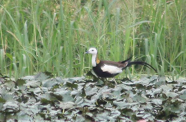 【公民寫手】為台灣留下更多濕地,請多享用愛水雉鳥的四角菱