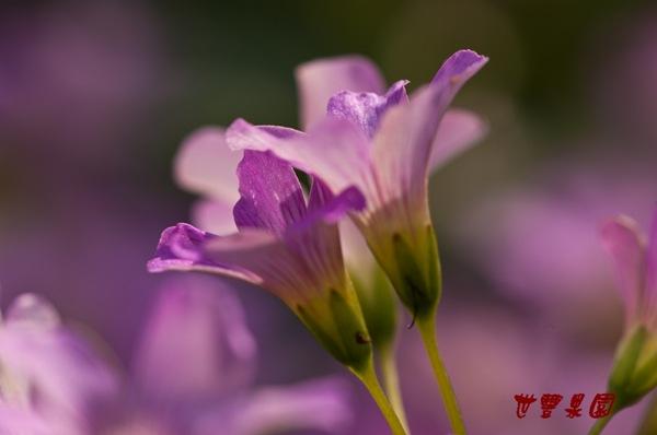 紫花酢漿草花海