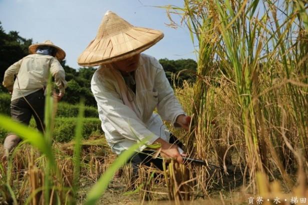 【公民寫手】農流生態調查 之 不專心割稻法