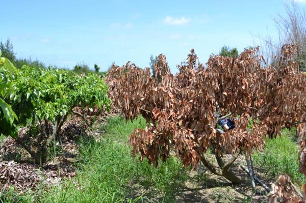 恆春附近荔枝樹忽然枯死,高雄場說明原因及防範對策