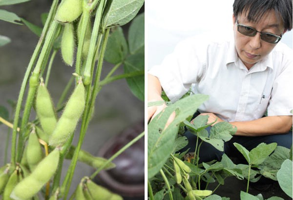 台灣第1個自主培育的芋香毛豆「香蜜」誕生!