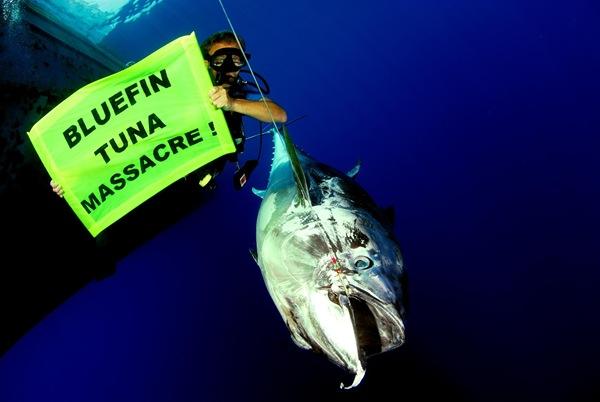 綠色和平成員2007年在地中海發現延繩釣漁船抓到的黑鮪魚,拍照時已死亡。 06/15/2007 © Greenpeace / Marco Care