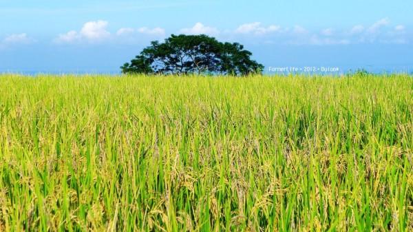 金黃好稻穗,下田收割去。