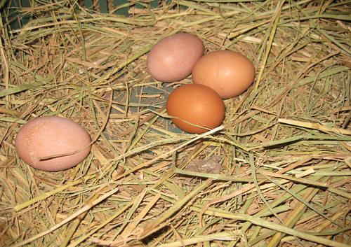 【公民寫手】如何辦別「土雞蛋」與「生蛋雞」雞蛋?