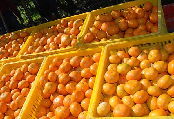 【公民寫手】台灣水果傳奇:茂谷王許博邦,開啟茂谷柑的黃金時代