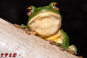 園住民莫氏樹蛙
