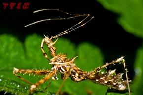 園的另一個幫手齒緣刺獵椿象