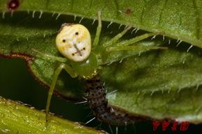 有著微笑臉譜的五紋鬼蛛正在享用蟲蟲大餐