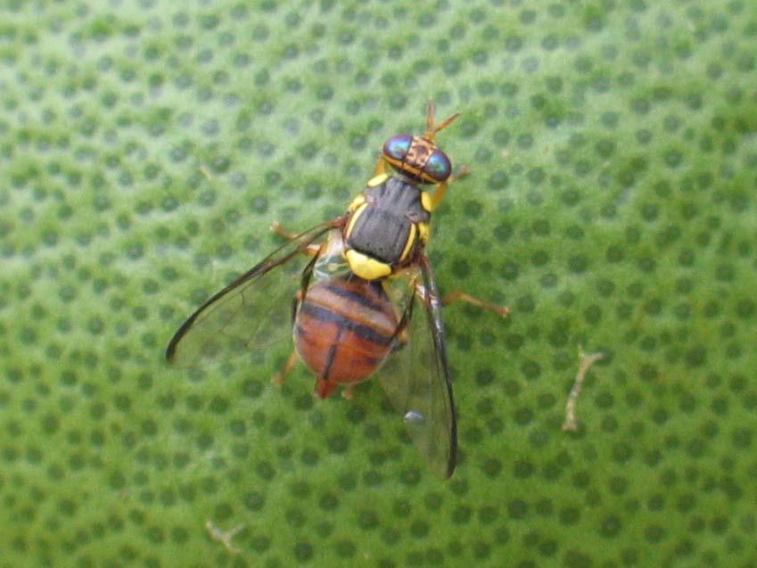 東方果實蠅雌成蟲在文旦上面產卵