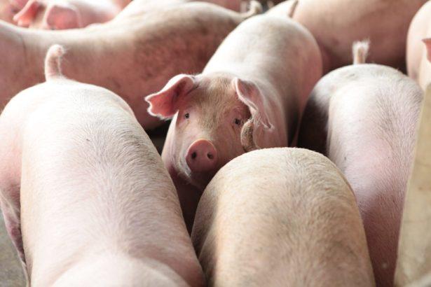 養豬命運未來如何?攝影/Alittle